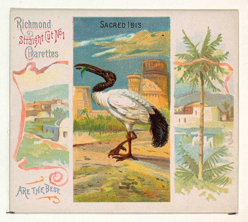 tropical bird illustration sacred ibis