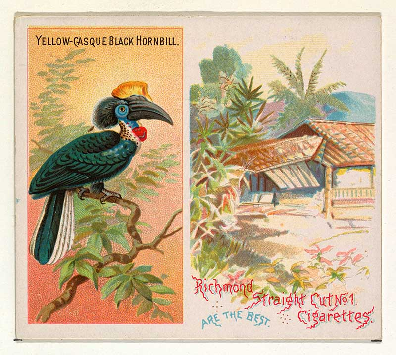 Yellow-Casque Black Hornbill, from Birds of the Tropics series (N38) for Allen & Ginter Cigarettes