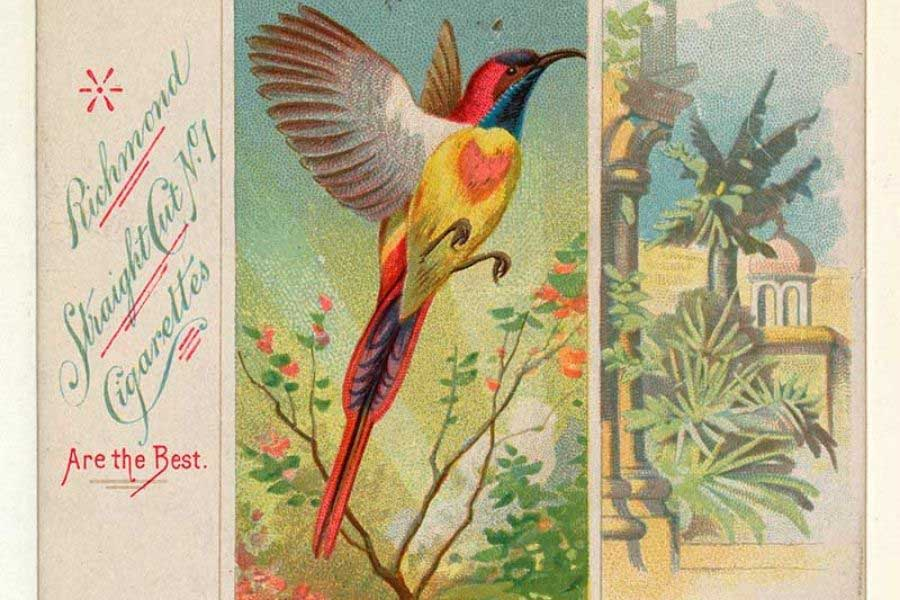 free tropical bird cigarette card illustrations