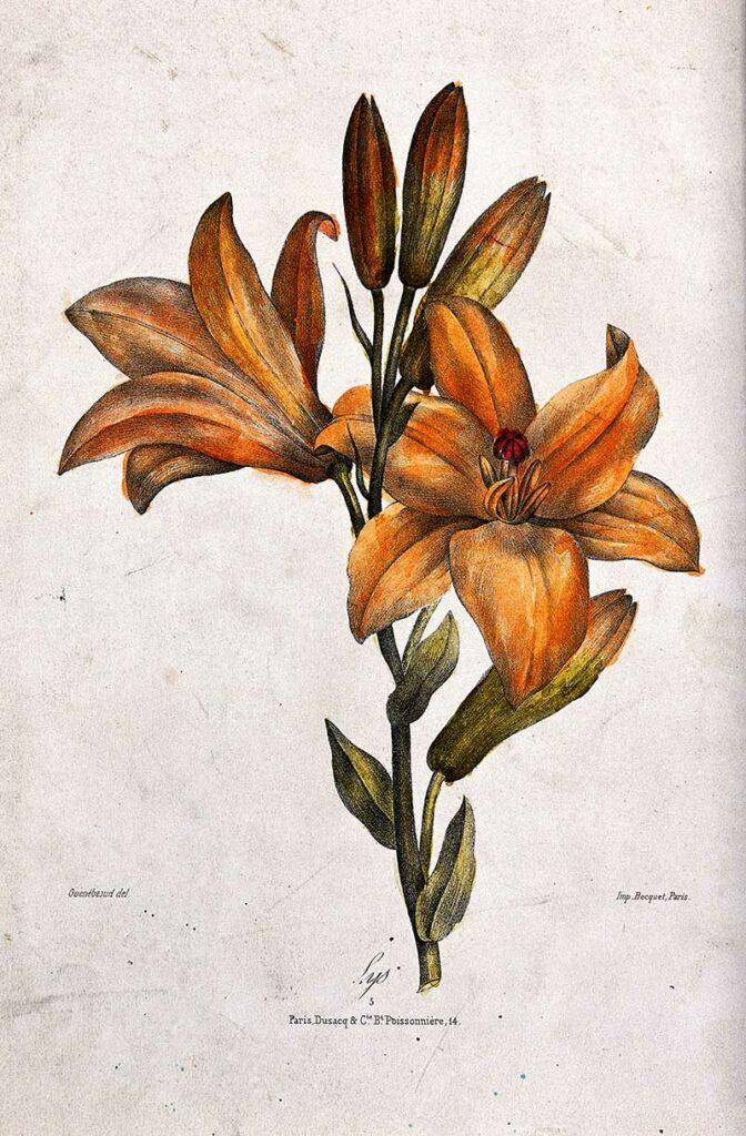 orange lily drawing