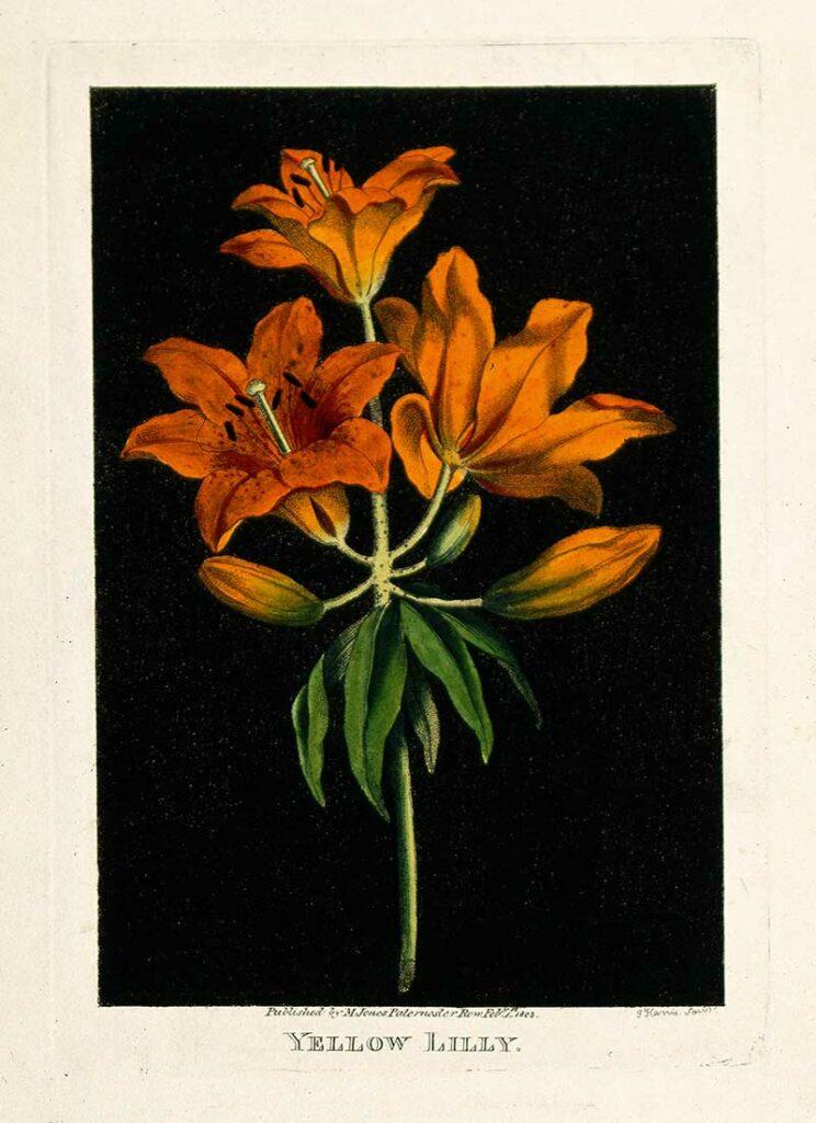 Orange lily (Lilium species)