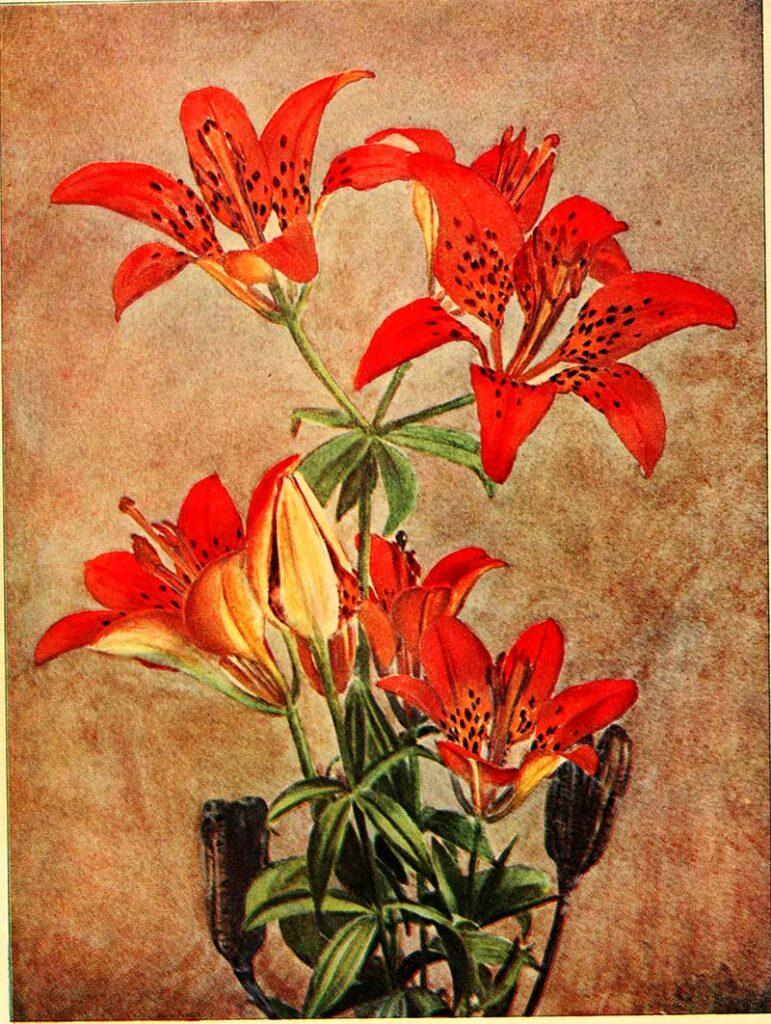 Philadelphia lily