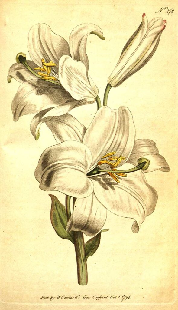 Madonna lily white lily