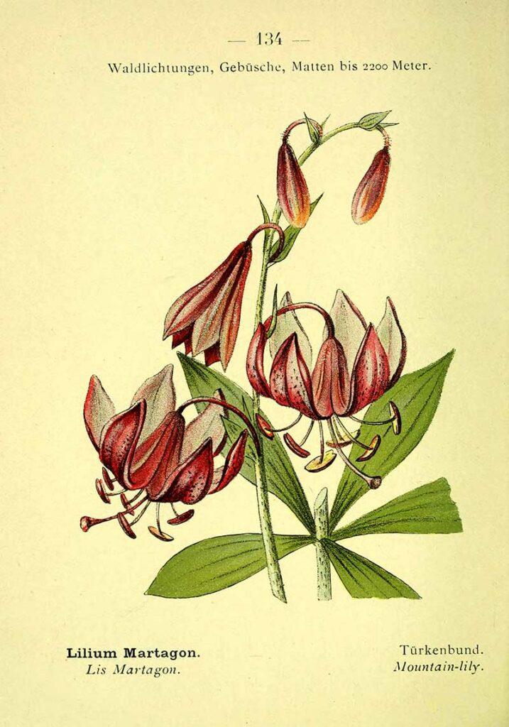 turks cap mountain lily