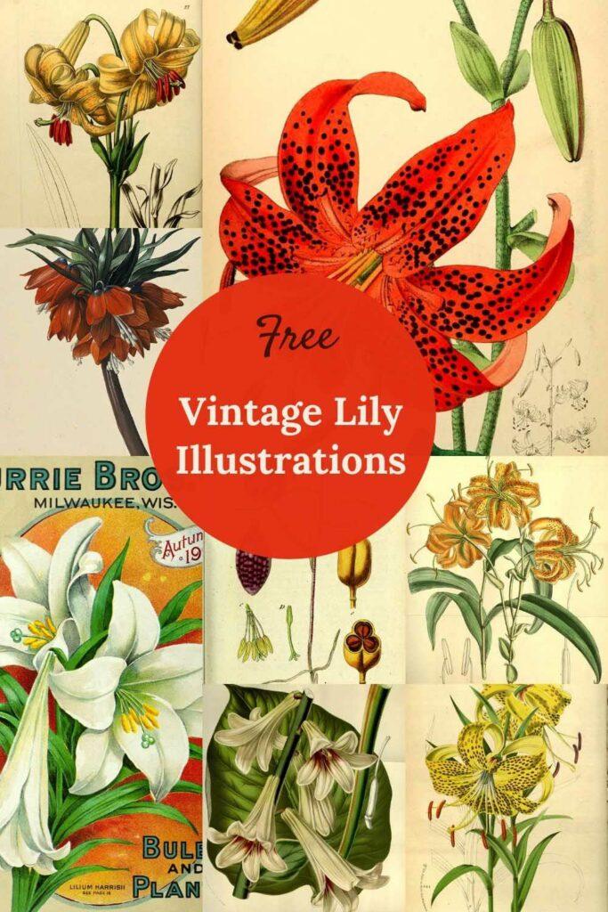 vintage-lily-drawings