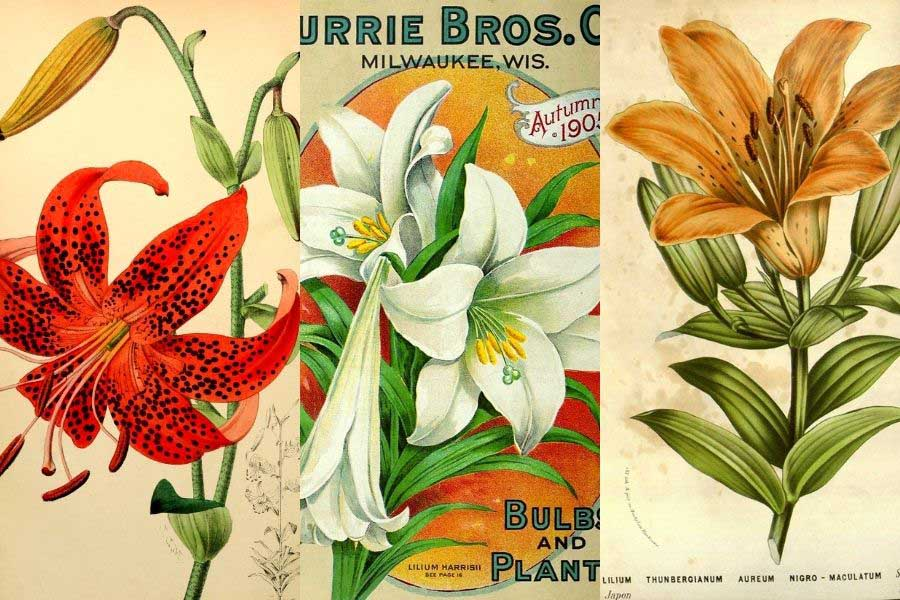 vintage-lily-botanical-illustrations