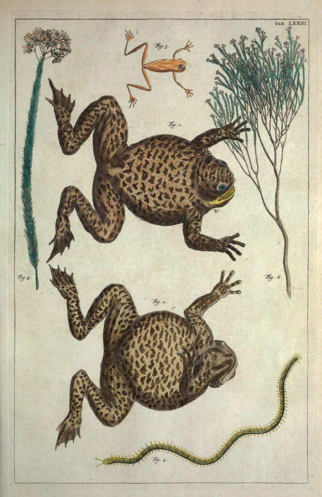 Natural History Frog drawing