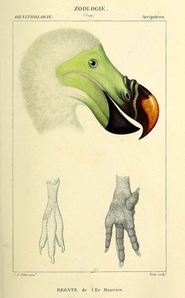 Dodo head and feet 1844