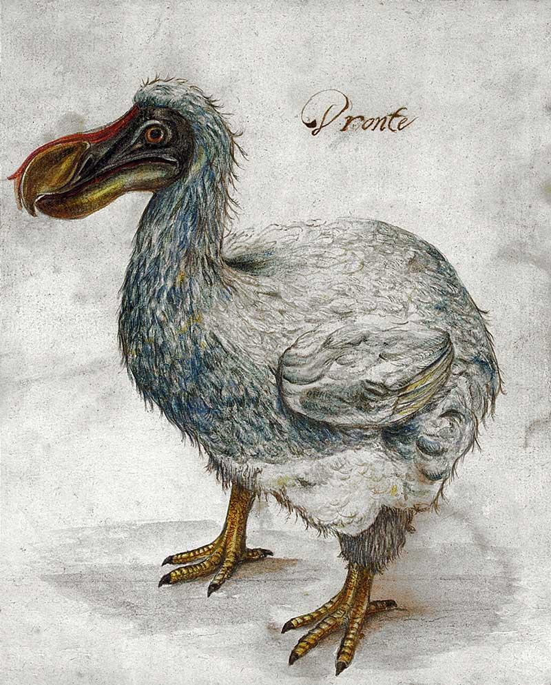 Dronte_17th_Century