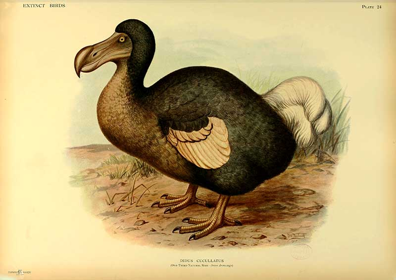 Dodo illustrations