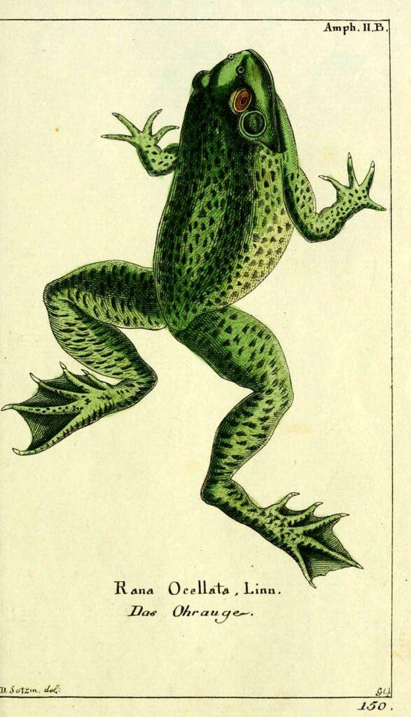 Leptodactylus latrans frog