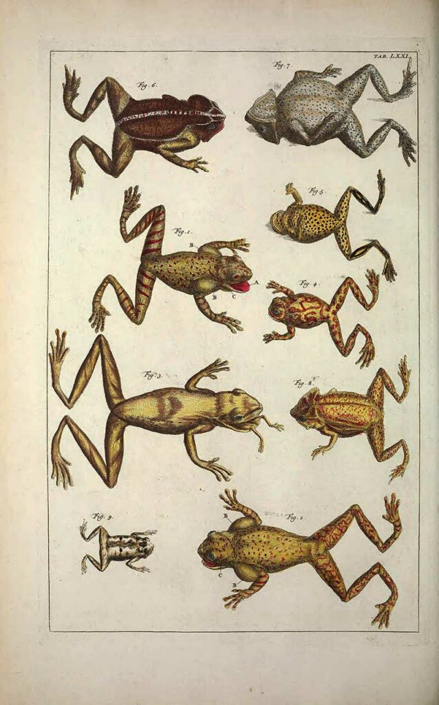 Albertus Seba frogs
