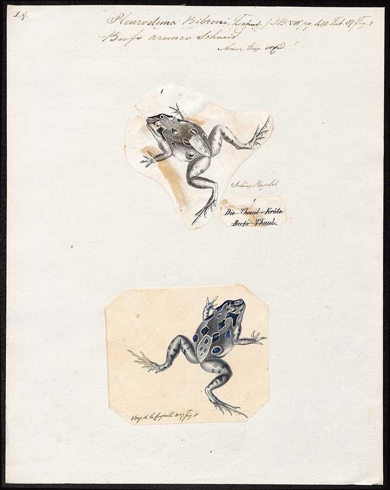 Four eyed frog illustration