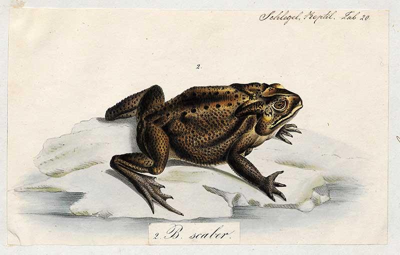 Schneider's (dwarf) toad