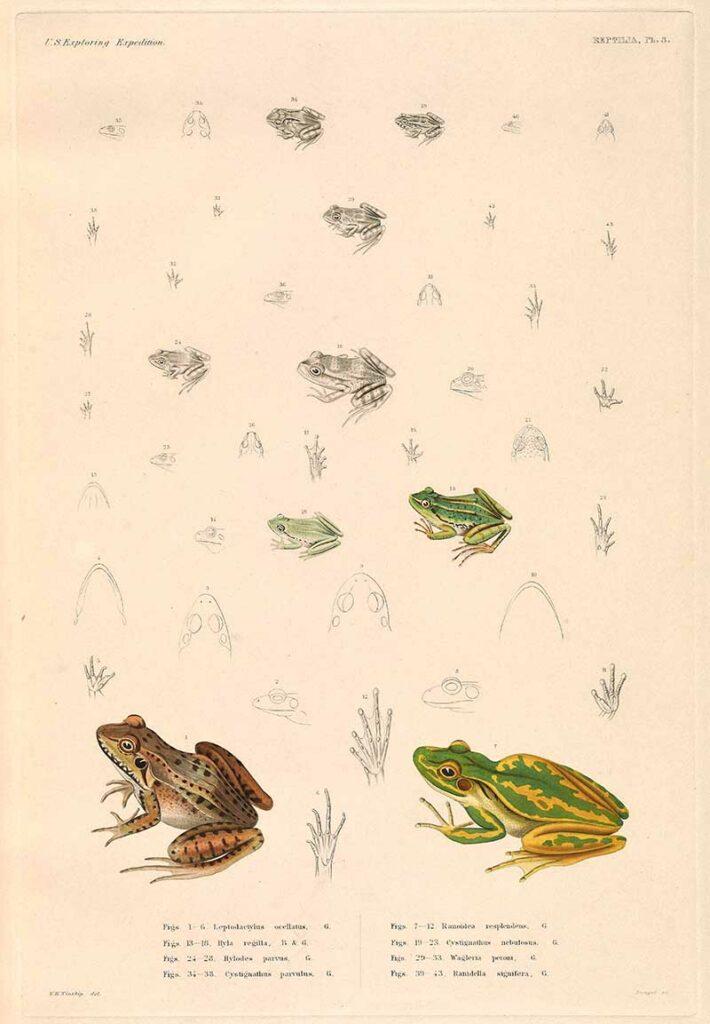 pacific tree frog et al