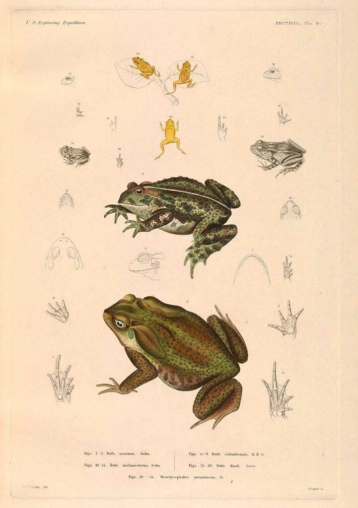 cane toad and other toads