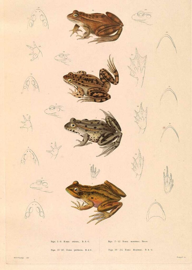 Four American Frog illustrations