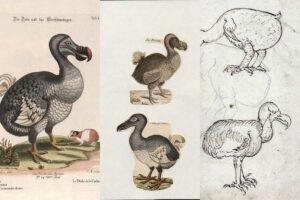 Free dodo drawings