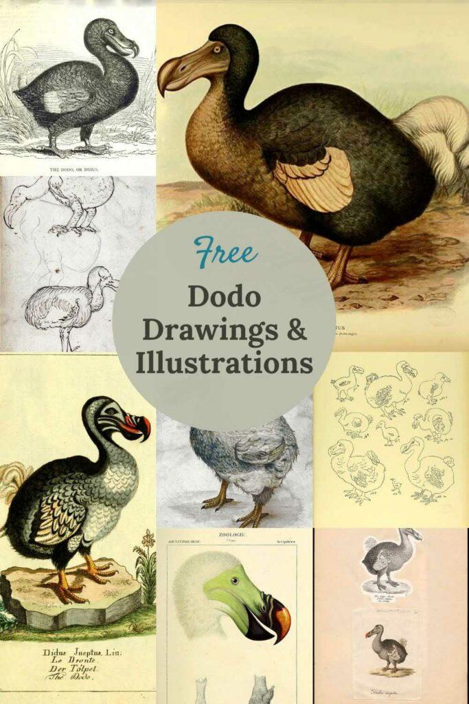 Free vintage dodo drawings