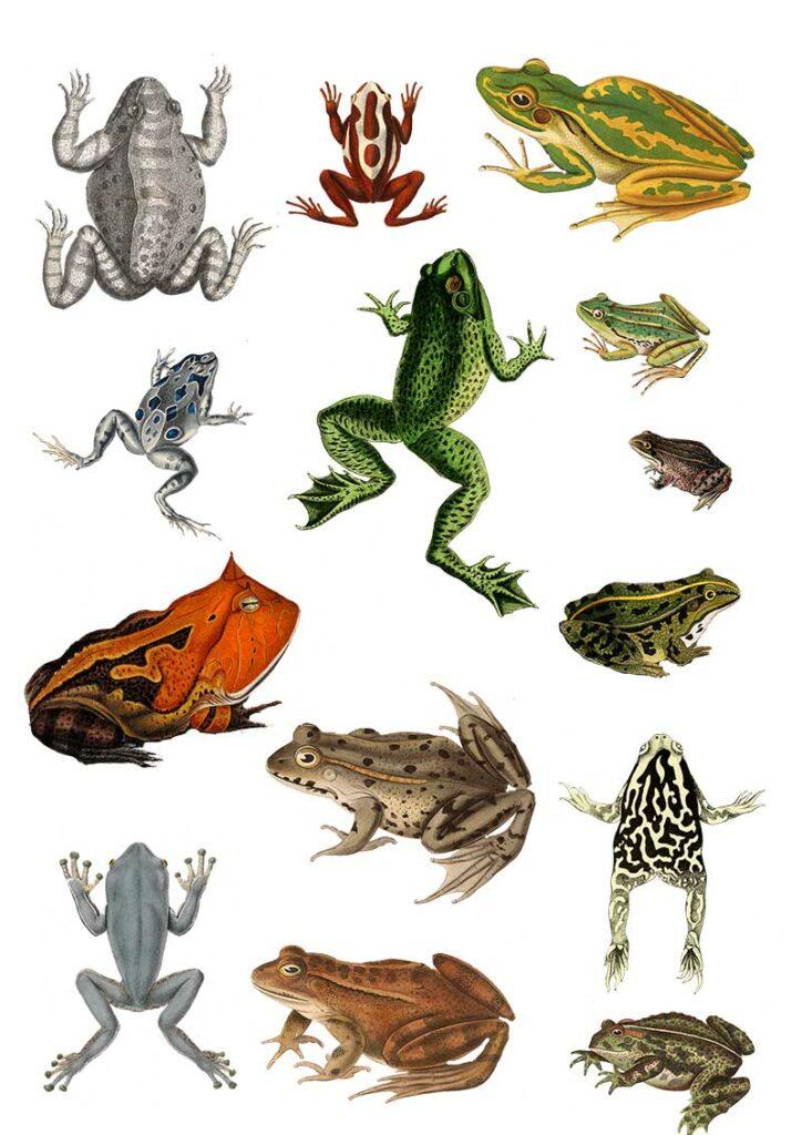 Vintage frog clip art