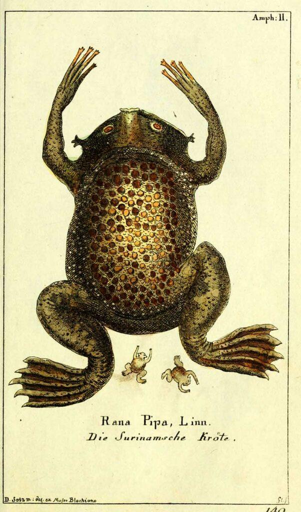 vintage frog illustration