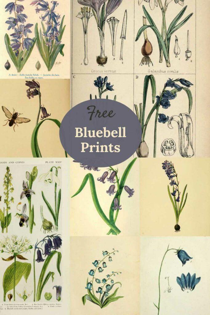 Bluebell-illustrations-free