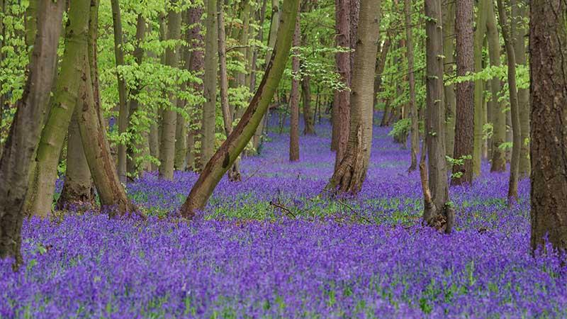 Pryor's Wood Bluebells