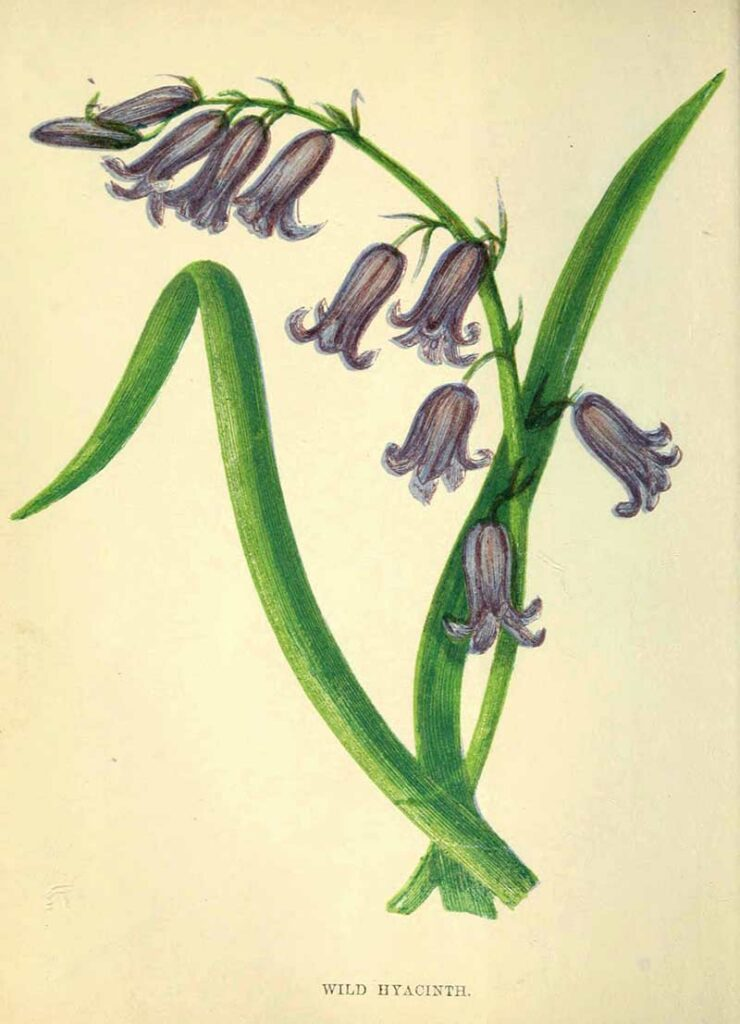 Wild Hyacinth also known as the bluebell.  Free print in the Public Domain to download in high resolution along with many more bluebell prints and illustrations.
