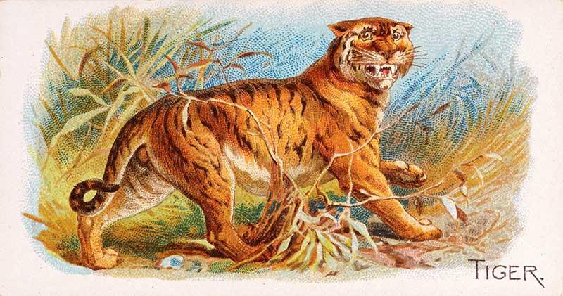 tiger cigarette card