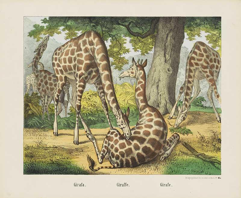 Dutch Three Giraffes