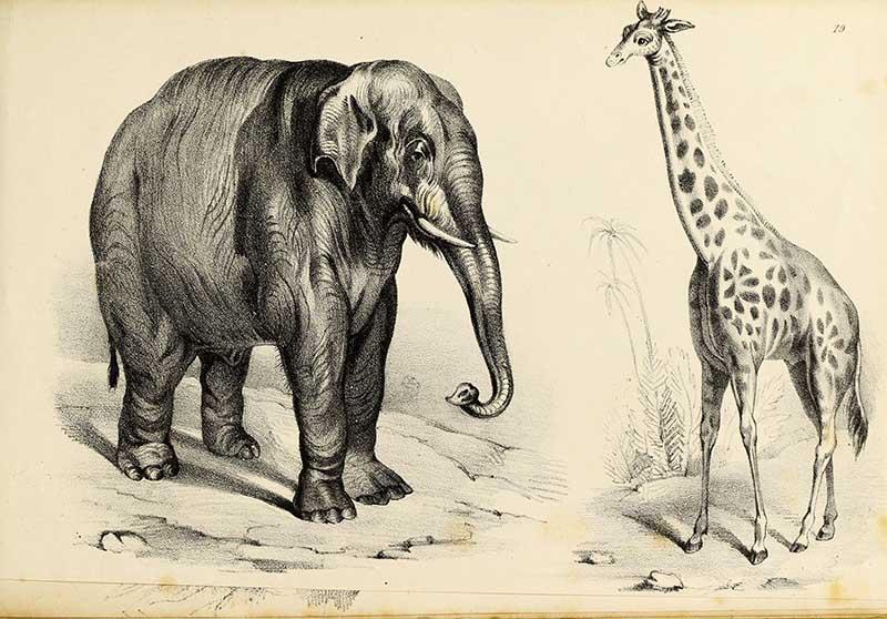 Fairland's_Giraffe