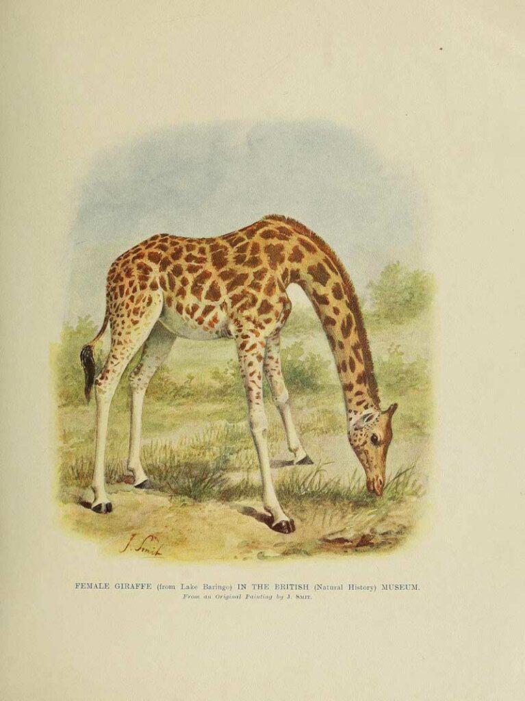 Female Giraffe