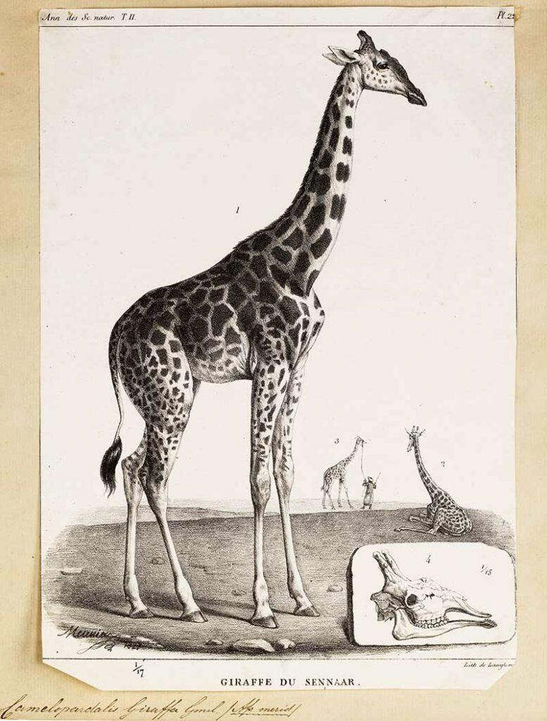 Giraffe Du Sennaar