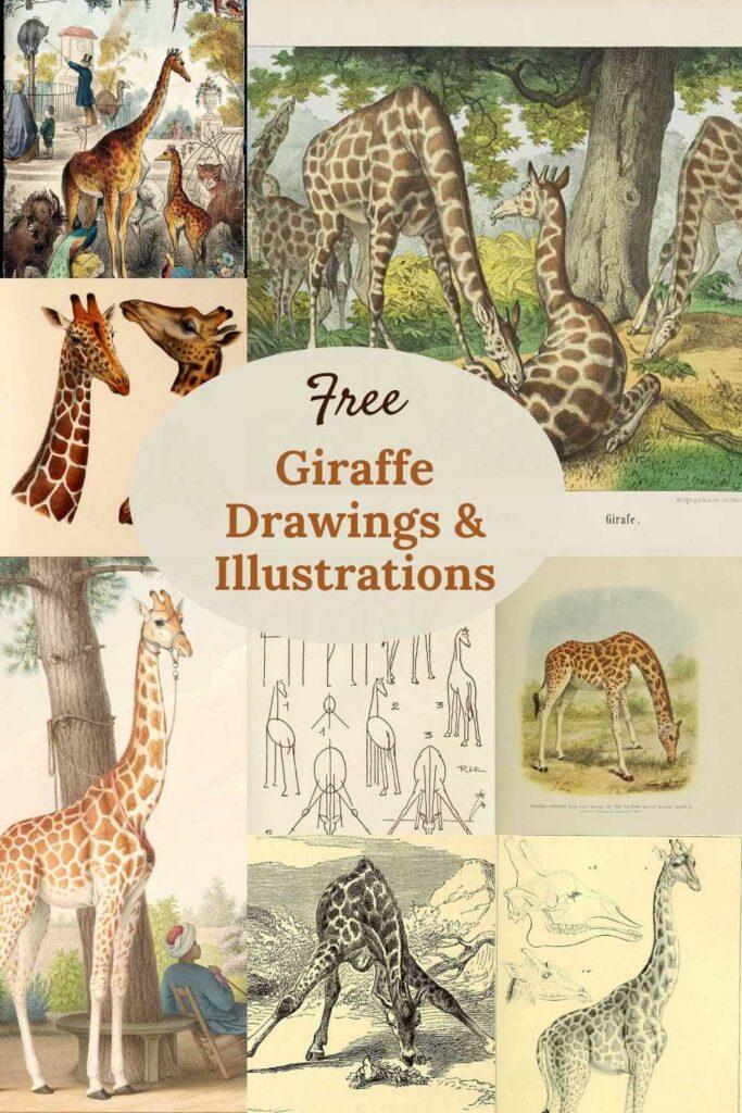 Giraffe-drawings-illustrations