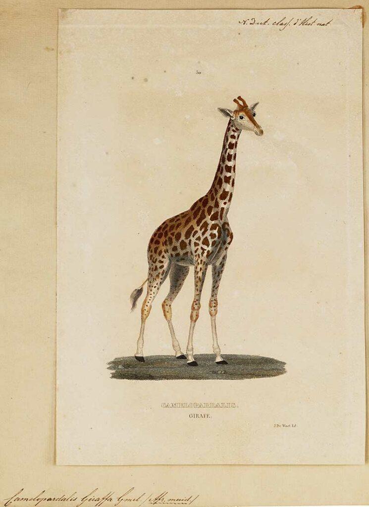 Iconographia_Zoologica_-giraffe