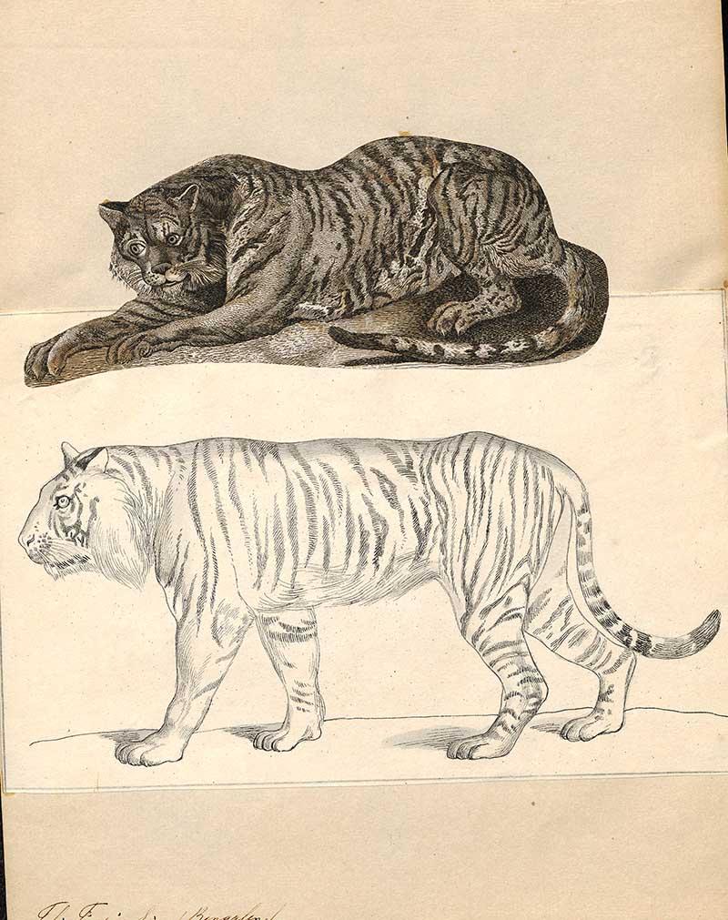 Iconographia Zoologica Felis tigris
