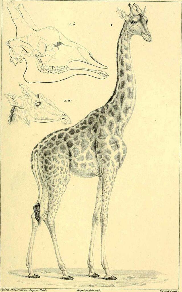 1829 Giraffe Sketch