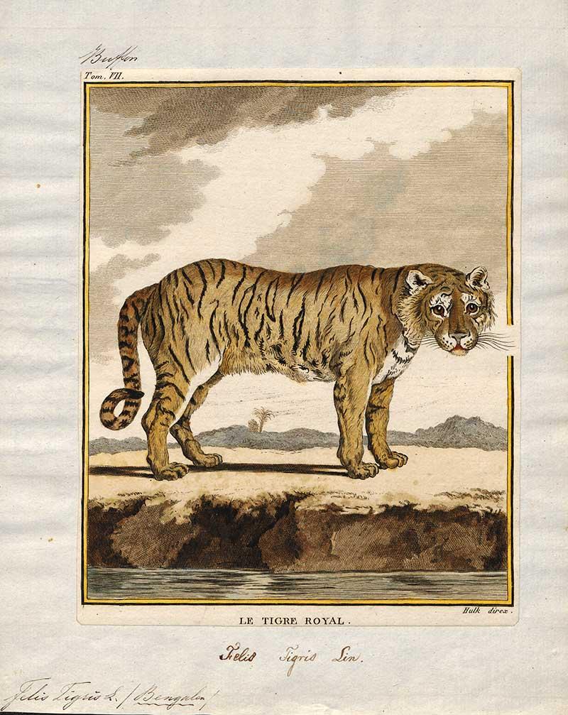 Le Tigre Royal