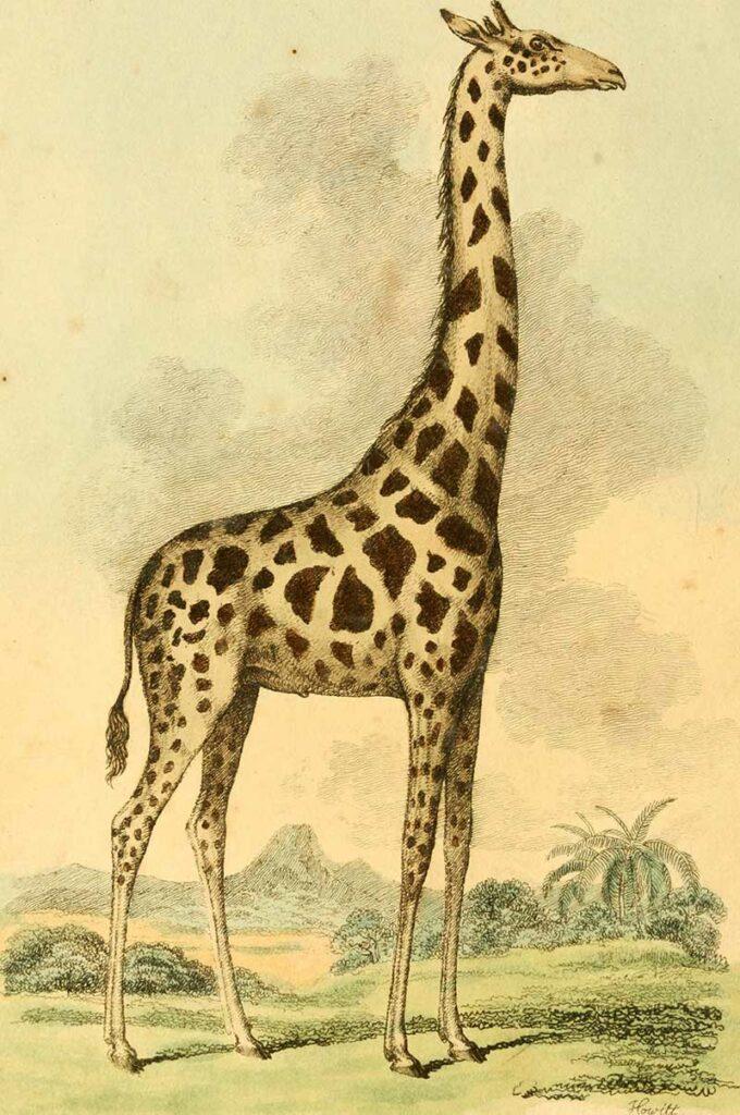 1812 London Museum Giraffe
