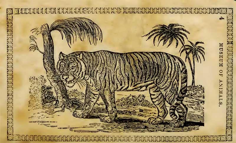 Tiger drawing 1842