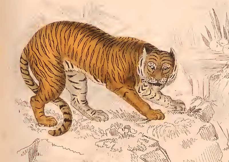 The Edinburgh journal tiger