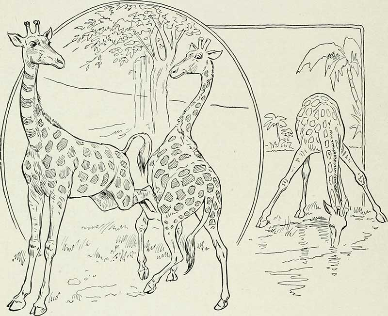 drawing of 3 giraffes