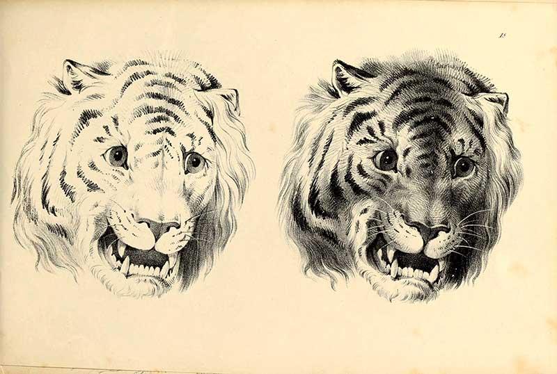 tiger face drawings