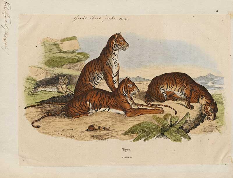 Tiger-family s