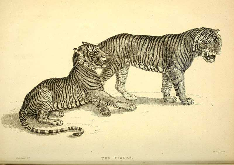 black-white-tiger-drawings
