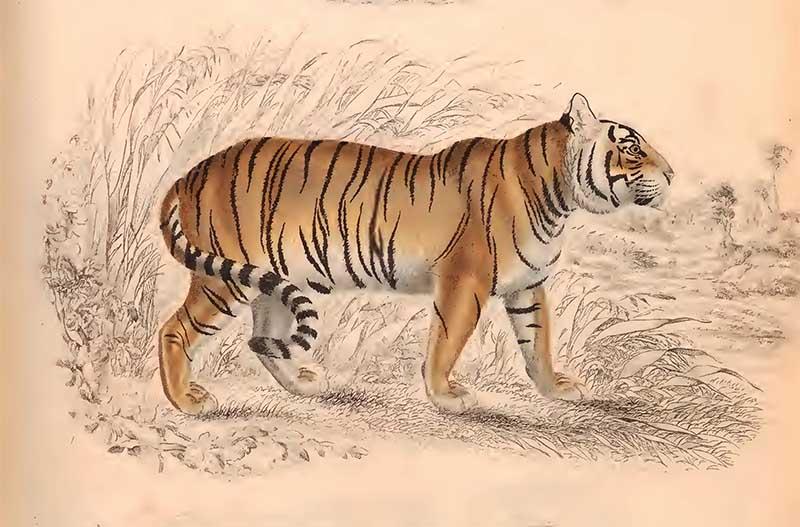 tiger drawings The Edinburgh journal of natural history