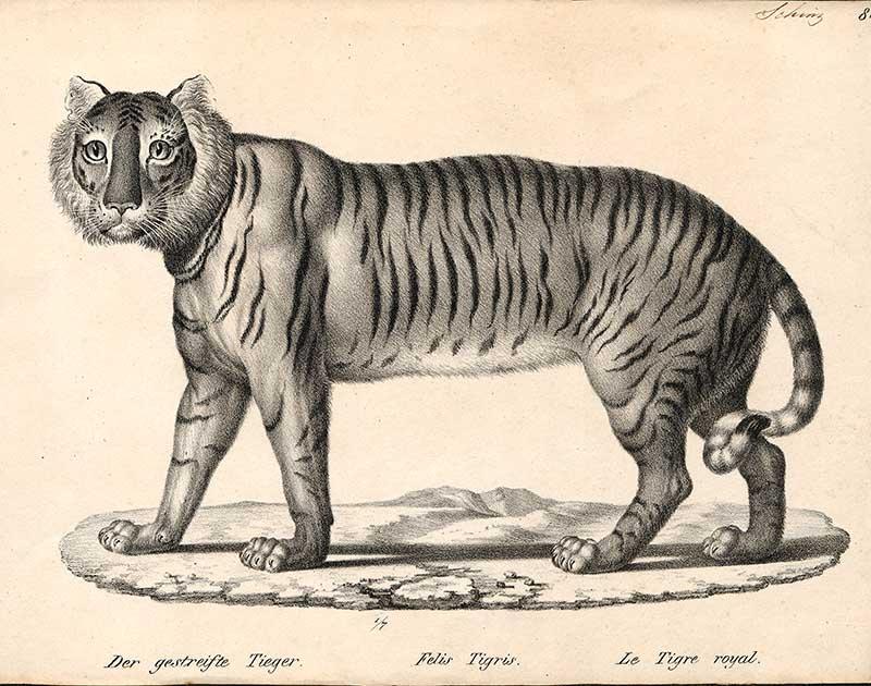 vintage-tiger-drawing