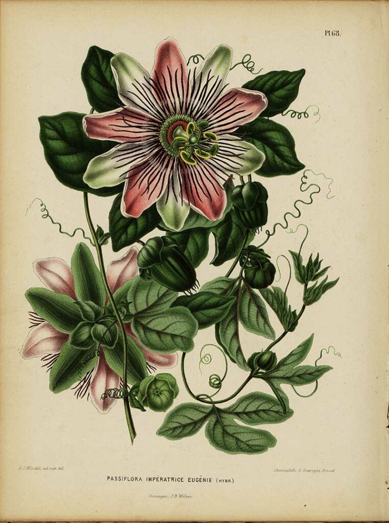 vintage passion flower drawings