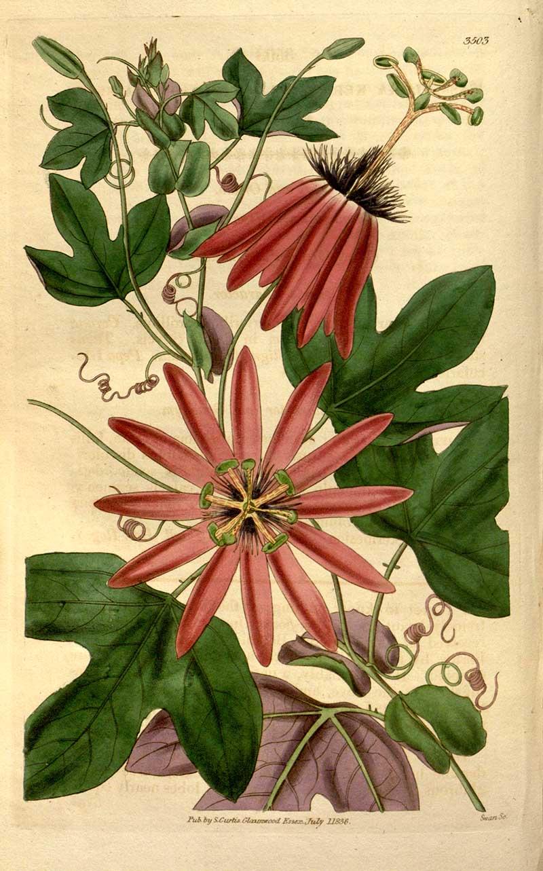 Passiflora kermesina