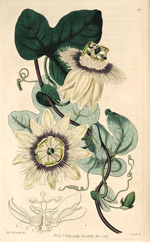 Passiflora stipulata